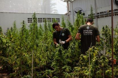 Plantas de maconha em estufas da Associação Brasileira de Apoio Cannabis Esperança (Abrace), em João Pessoa (PB).