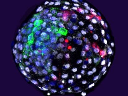Embrião com células de macaco e de humano gerado pela equipe de Juan Carlos Izpisua.
