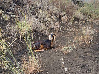Uma cabra doméstica fotografada por Manuel Nogales na área próxima à lava.