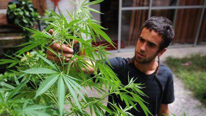 Chileno cuida uma planta de maconha.