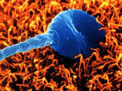 Um espermatozoide humano tenta fecundar um óvulo.