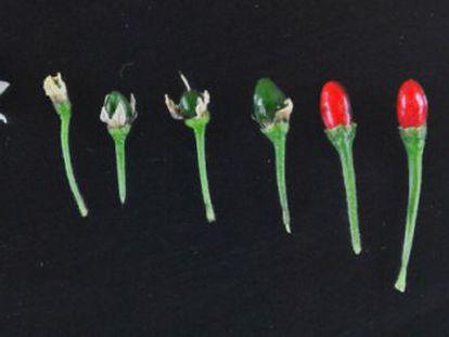 A pimenta chiltepín, cujo genoma foi sequenciado no estudo.