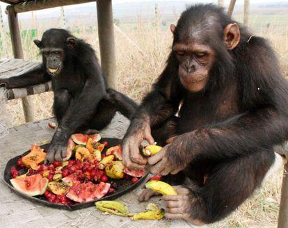 A enzima que metaboliza o etanol está ativa em grandes símios como chimpanzés, gorilas e humanos, mas não em orangotangos, o único arbóreo. Jane Goodall Institute.