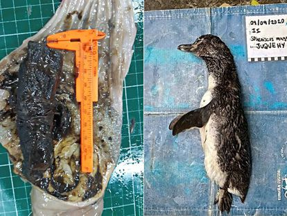 Pinguim morto (à direita) e a máscara que ingeriu (à esquerda).