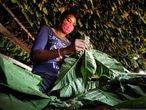 Plantación de tabaco en Viñales, al oeste de Cuba.