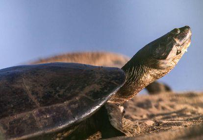 Uma tartaruga-da-amazônia durante a desova na Ilha do Juncal, em outubro de 2017