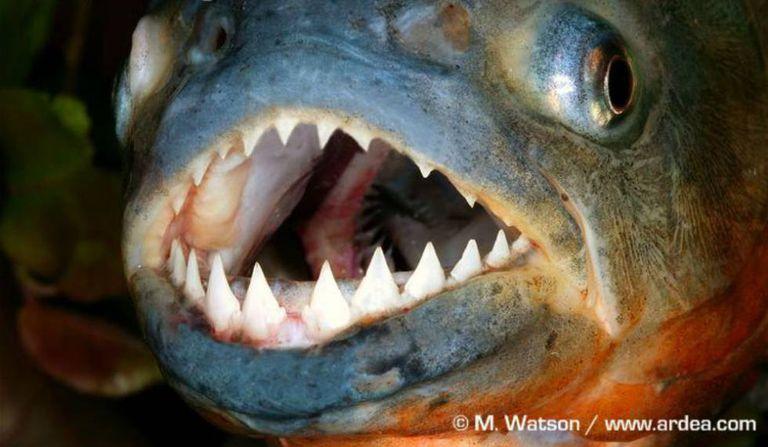 Um exemplar de piranha.