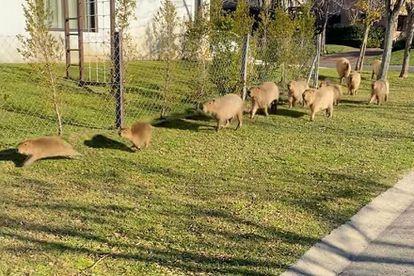 As capivaras caminham ao lado das casas do condomínio Nordelta, 40 quilômetros ao norte de Buenos Aires.