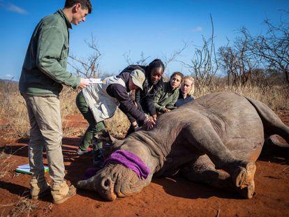 Uma fêmea de rinoceronte negro é colocada em posição que permite que ela seja operada para remover seu chifre. Em vídeo, o corte dos chifres dos rinocerontes, medida tomada para evitar sua morte.