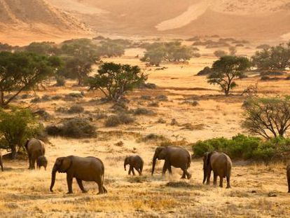 Elefantes africanos na Namíbia.