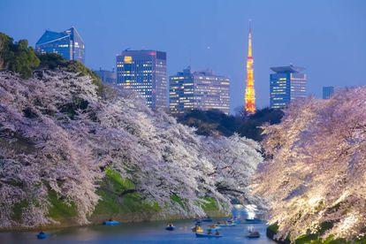 Floração das cerejeiras em Tóquio.