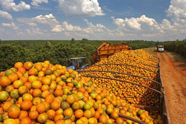Pomar de laranjas no Estado de São Paulo.