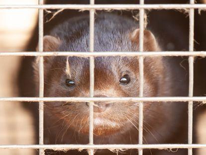 Um dos visons enjaulados da fazenda da Província de Noord-Braban nos Países Baixos, onde foram registrados casos da covid-19.