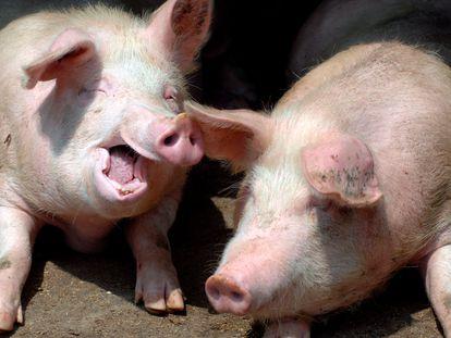 Porcos em uma fazenda de Qingdao (China).