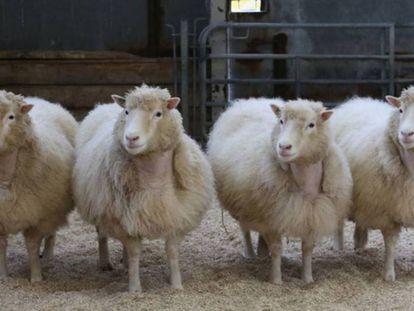 Quatro clones de raça Finn Dorset de oito anos de idade, procedentes da mesma linha celular da que nasceu Dolly.