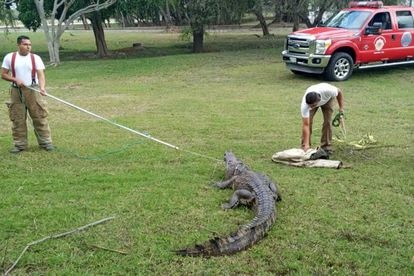 Elementos do grupo S.O.S Cocodrilo de Tampico capturam um crocodilo, em maio deste ano.