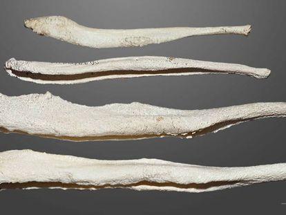 Diferentes ossos de pênis.