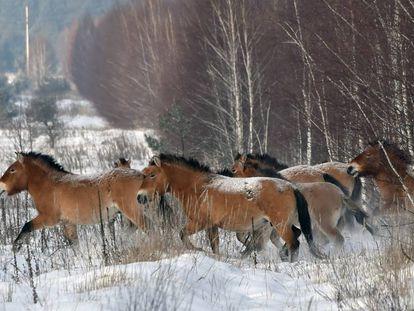 Manada de cavalos-de-przewalski em Chernobil (Ucrânia).