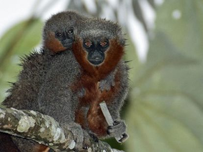 Dois macacos da espécie 'Callicebus miltoni', recém descoberta.