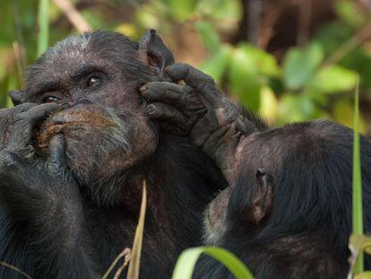 Dois chimpanzés no Parque Nacional de Gombe (Tanzânia).