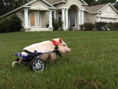 O porco 'Chris P. Bacon', cujas patas traseiras estão atrofiadas desde o nascimento, é um dos protagonistas do documentário 'My bionic pet', da PBS.