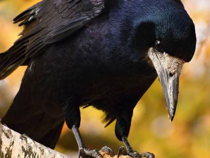 O corvo é um dos pássaros mais inteligentes