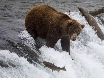 Um urso pesca salmões no Parque Nacional de Katmai (Alasca), em 2018.
