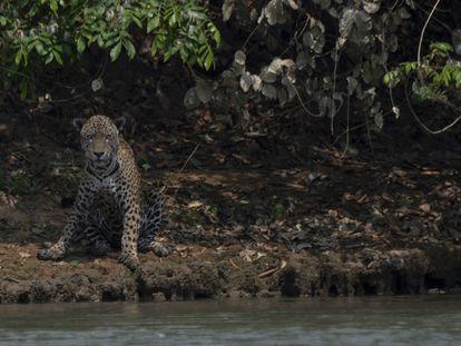 Uma onça ferida nos incêndios do Pantanal repousa na beira de um riacho no Parque Nacional Encontro das Águas, no Mato Grosso, que já teve mais de 60% de sua área destruída pelo fogo.