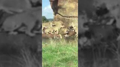 Grupo de leoas ataca um macho diante de turistas em safári no Reino Unido
