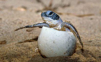Tartaruga marinha, uma das espécies ameaçadas de extinção.