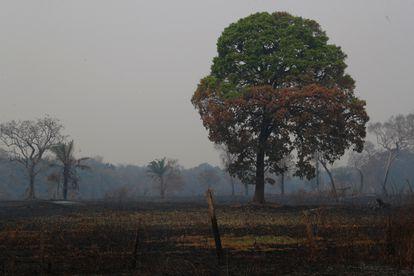 Árvore parcialmente queimada no Pantanal, em Poconé, no Mato Grosso.