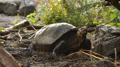 A tartaruga Fernanda, encontrada em 2019 numa zona isolada da ilha Fernandina, em Galápagos.
