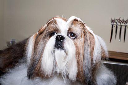 'Tibet', um cão da raça shi tzu