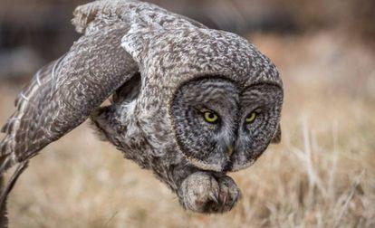 Uma coruja se lança em busca de uma presa em New Hampshire.