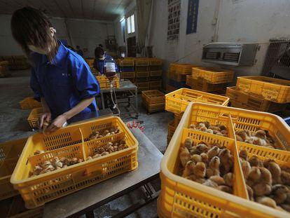 Vários funcionários vacinam pintinhos contra a gripe aviária H9 em uma granja na província chinesa de Anhui.