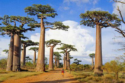 Avenida dos Baobás, em Madagascar.
