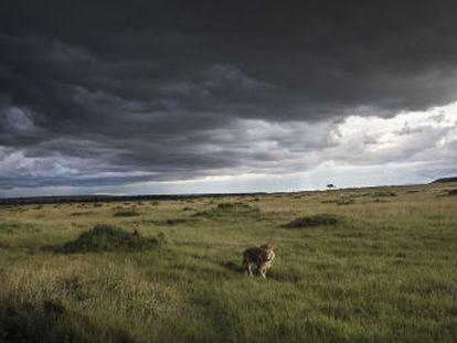 Só restam 20.000 dessas grandes feras e não há garantias de que a espécie possa sobreviver