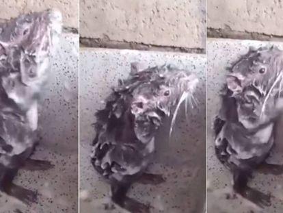Três fotogramas do vídeo que supostamente mostra um rato tomando banho.