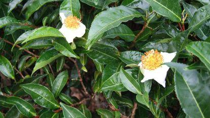 A árvore de chá 'Camellia sinensis'.