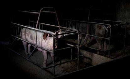 'Camisa de parto' de uma fazenda de exploração animal no México.
