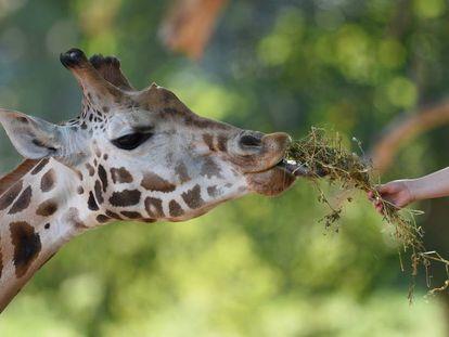 Uma pessoa dando de comer a uma girafa.