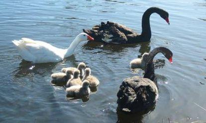Thomas com o casal de cisnes Henry e Herriette e seus filhotes