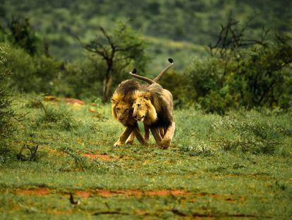 Dois leões machos brincam.
