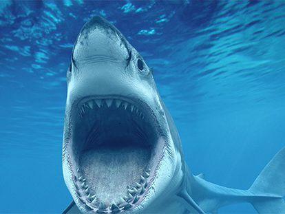 Exemplar do tubarão branco.