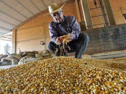 Um agricultor examina o milho transgênico que cultiva.