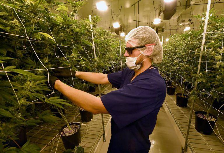 Um homem retira folhas de maconha em Nevada, um dos Estados nos quais ela é legal.
