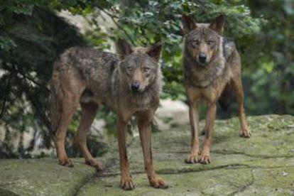 Dois exemplares do lobo ibérico.