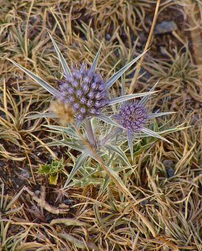 O 'Eryngium glaciale' é uma das espécies endêmicas de Sierra Nevada que podem ser encontradas acima dos 3.000 metros. Está se mesclando com espécies aparentadas com ele como o cardo azul.