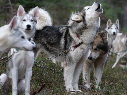 Um grupo de huskies siberianos.