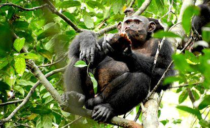 O chimpanzé Pandi come da carapaça de uma tartaruga na selva do Gabão.